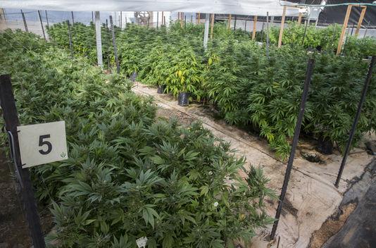 Addiction Cannabis - Légaliser, dépénaliser ou non le cannabis : le débat résumé en une conversation SMS