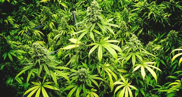 Addiction Cannabis - CANNABIS / le triple désastre de la prohibition