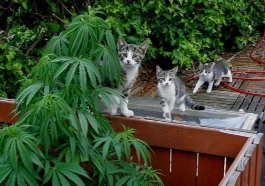 Addiction Cannabis - Entre son chat et son joint, il faudra désormais choisir ! Hypersensibilité provoquée aux allergènes chez les usagers de cannabis