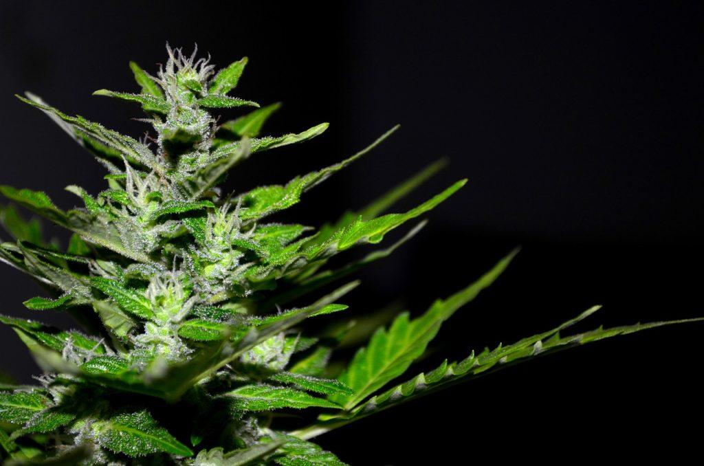 Addiction Cannabis - CANNABIS / Réduire les risques liés à l'usage