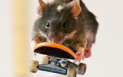 Addiction Autres drogues - Des souris pour mieux comprendre le désert dopaminergique