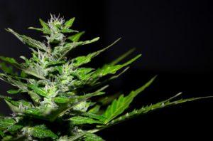 Médicaments pour le traitement de la dépendance au cannabis