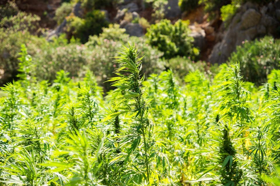 Addiction Cannabis - Médicaments pour le traitement de la dépendance au cannabis